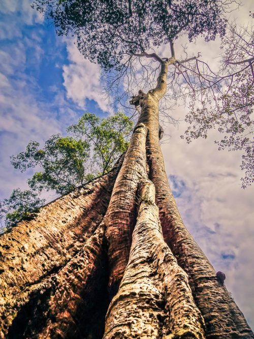 cursus lacus dignissim CURSUS LACUS DIGNISSIM naowel abt arbre de vie temple ta prohm cambodge 500x667